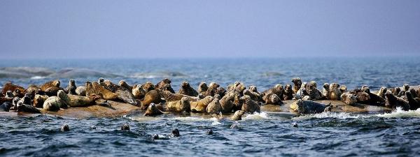 Bråkiga sälar blir offer för skyddsjakten
